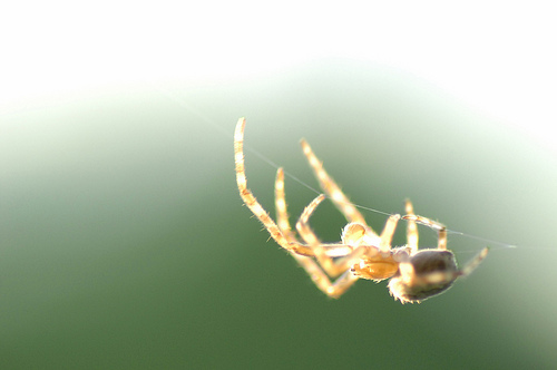 A photograph of a spider on a strand of web.