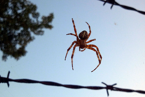 A photograph of a spider suspended on a web spun between strands of a barb wire fence