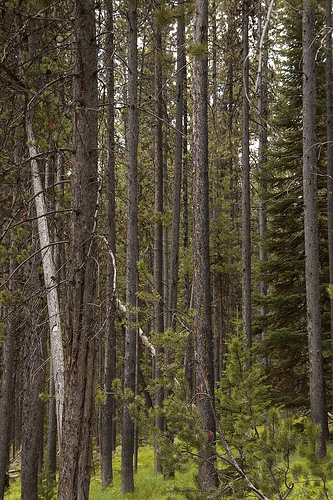 A stand of pine trees, parallel trunks running from the ground to the top of the image.