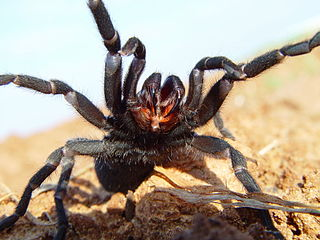 A photograph of a tarantula acting aggressively. Its front four legs are raised and its fangs are showing.