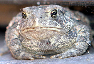 A photograph of a large, gray toad sitting on the ground