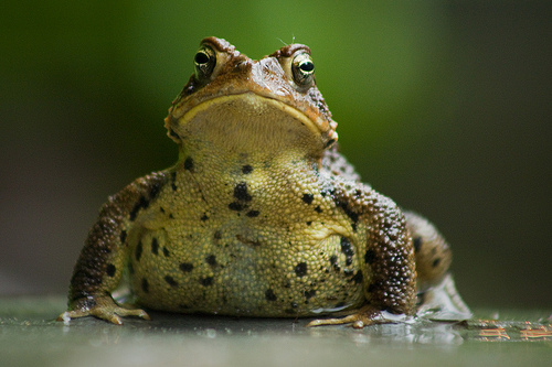 A photograph of a toad on a surface with its head raised
