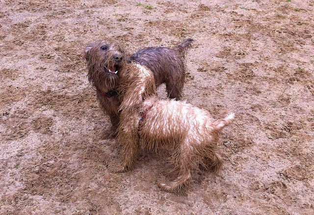 A photograph of two muddy dogs playing in the mud