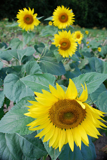 A photograph of sunflowers in full bloom