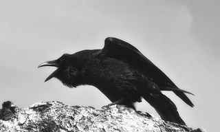 A photograph of a perched Raven squawking