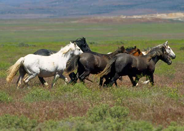 A photograph of a herd of wild mustangs running on the plains