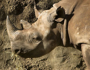 A photograph of a Black Rhinoceros in a zoo