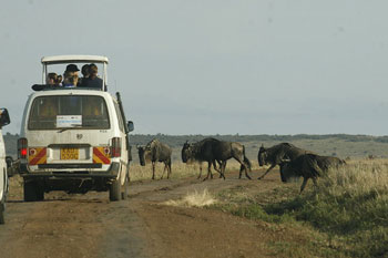 A photograph of a safari vehicle on a road. The vehicle is stopped as a herd of Wildebeests pass by