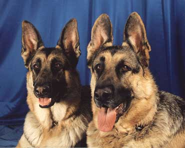 photo of two German Shepherds against a blue background