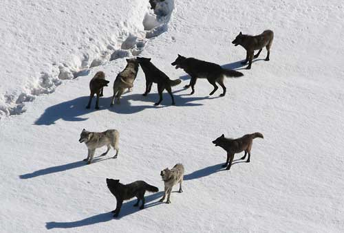 Photo of a pack of wolves on frozen, icy land