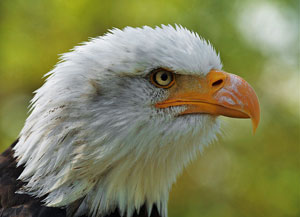 close up, profile photo of a bald eagle with a white head, yellow eye and orange beak