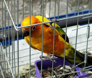 A photograph of a colorful bird in a cage. The bird is grasping the side of the cage with its talons.