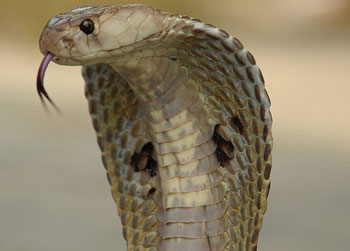 A photograph of an adult cobra with its hood extended. Its tongue is sticking out.