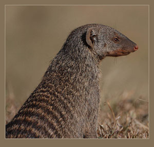 A photograph of a Mongoose. It is a small mammal like a ferret or weasel.