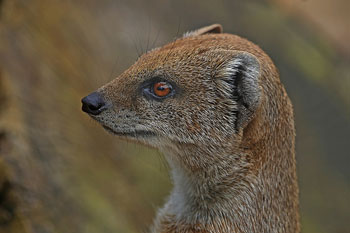 A photograph of an adult Mongoose. It is a profile of the animal's head.