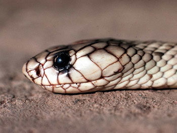 A photograph of the head of an adult Egyptian Cobra.