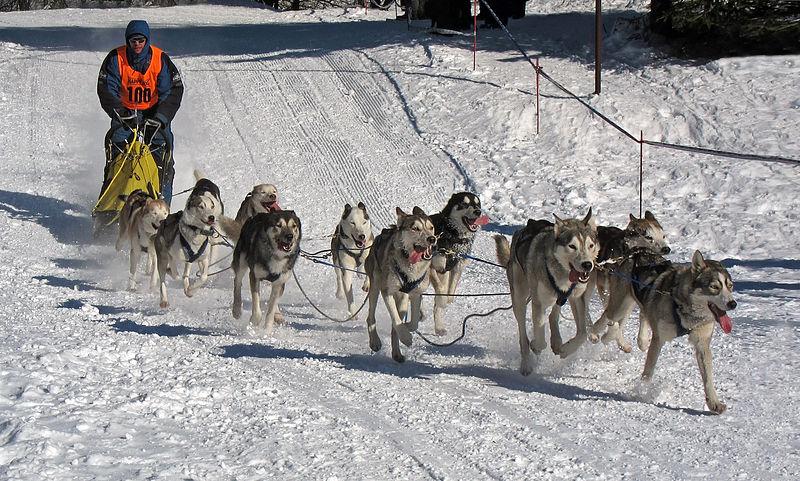 11 siberian huskies pulling a man in an orange vest on a dogsled