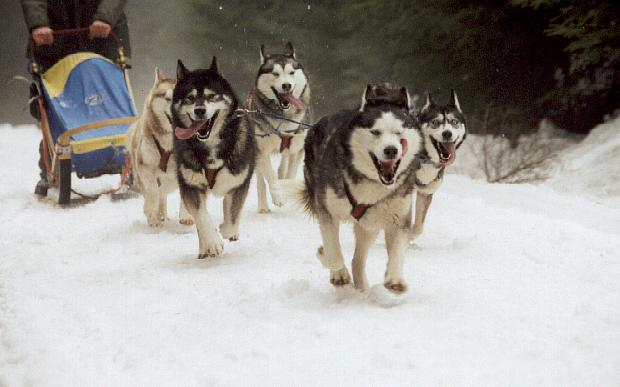 siberian huskies pulling a dogsled