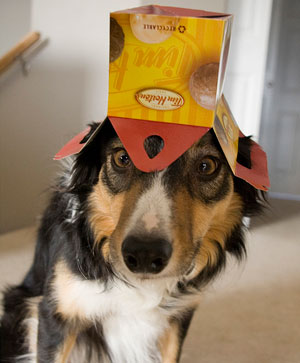 A border collie with a confused and surprised expression looks into the camera. He is wearing a donut box upside down on his head.