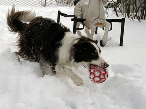 A cheerful border collie holding a ball of string runs toward the camera.