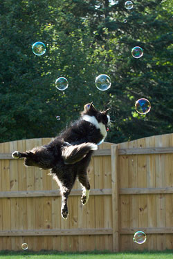 The photograph captures a border collie jumping at bubbles floating in the air. The dog hovers in the air as if she is flying through space to chase the bubbles.