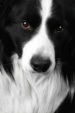 A close-up image of a border collie's face. The dog's eyes are peaceful and thoughtful, almost lost in the dark fur around her eyes and ears.