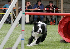 Border collie on an agility course, ready to jump over a brightly-colored rail.