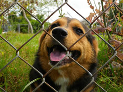 A brown and black dog looks through the mesh of a chain link fence.
