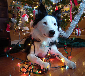 A border collie under a Christmas tree. He is pawing through a set of Christmas lights, and is looking curiously upward, listening to his owner.