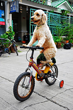 A cheerful dog sitting on a bicycle seat with paws on the handlebars as if it were riding the bicycle.