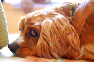 A cocker spaniel resting and looking at the camera