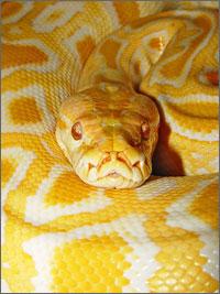 Image of Burmese Python