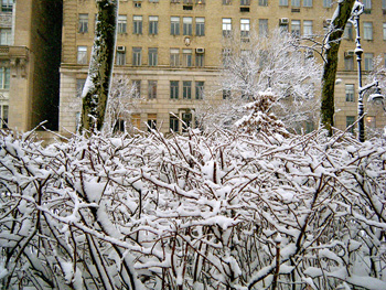 photo of leafless shrubbery blanketed with snow; a tall building rises in the background