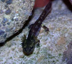 A photograph of a fish that has salamander like features