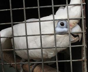 A photograph of a Cockatoo siting on a perch in a cage