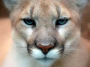 A photograph of a very serious looking mountain lion