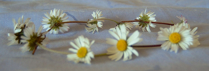 A photograph of a daisy chain. It is made of ten daisies with their stalks tied together.