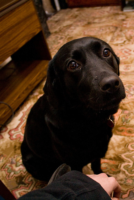 Photograph of a black dog looking up at the camera with painfully sincere hope